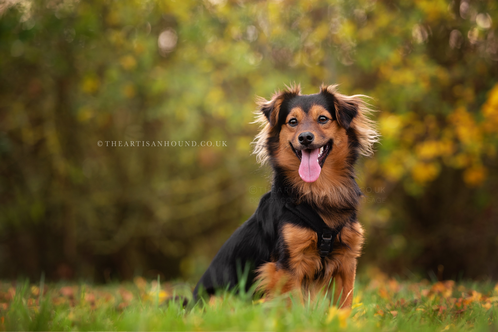 Small black and tan dog sitting in grass in parkland