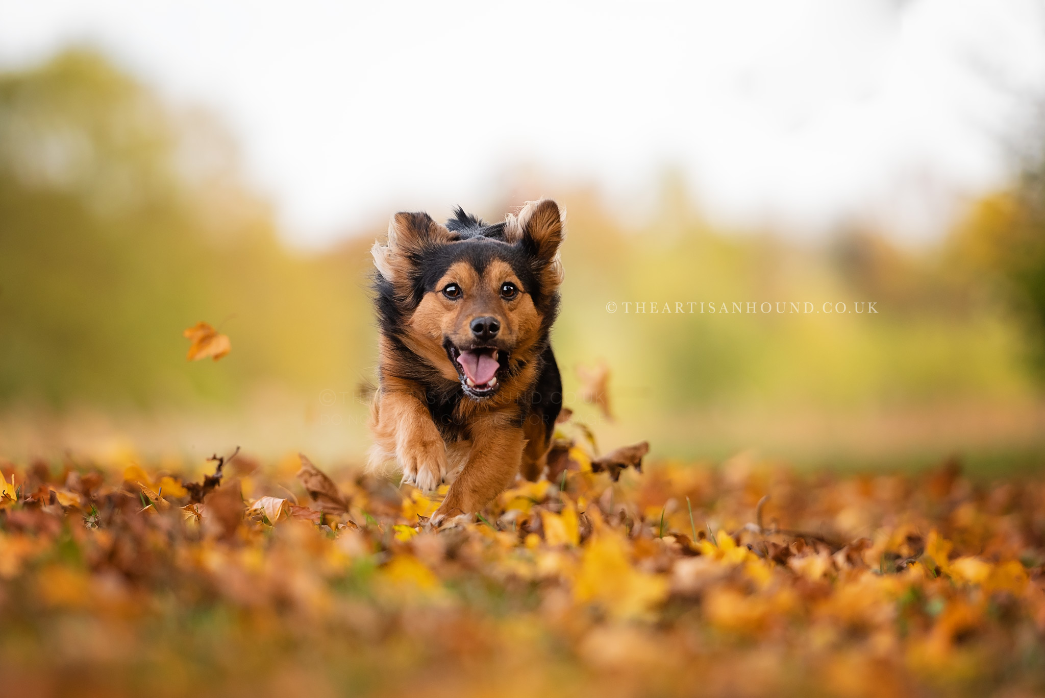 Little dog running through autumn leaves