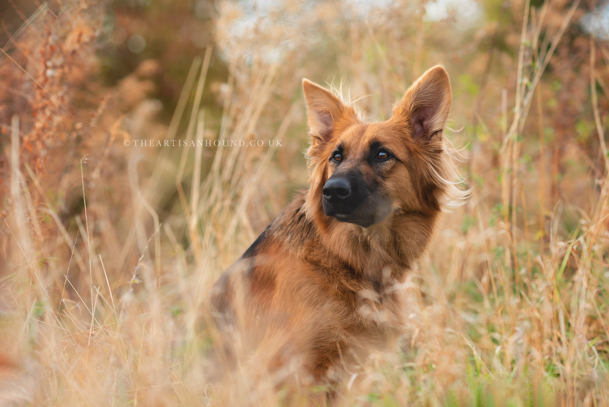 GSD dog sitting in tall grass in Northamptonshire
