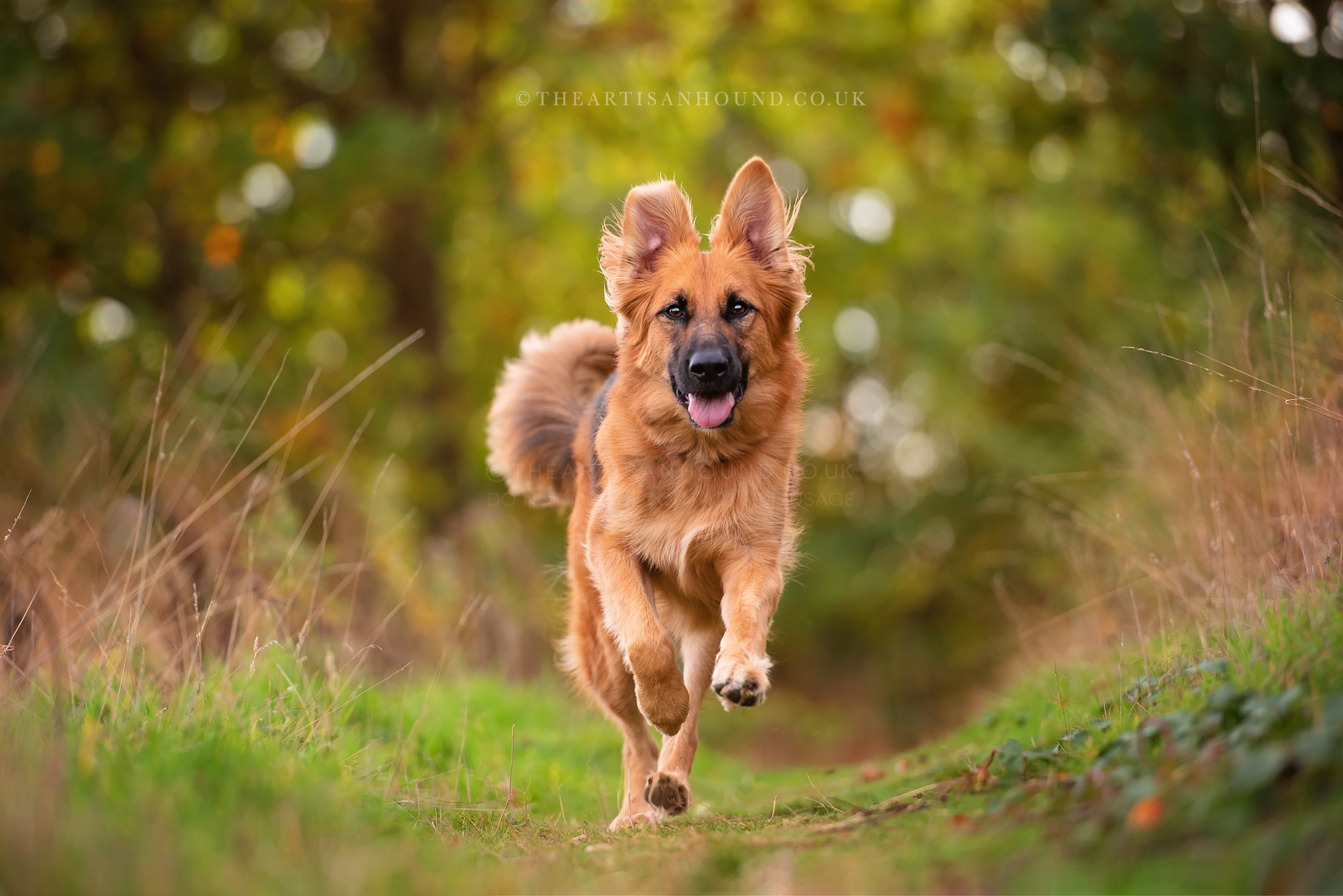 German Shepherd dog running towards photographer across park