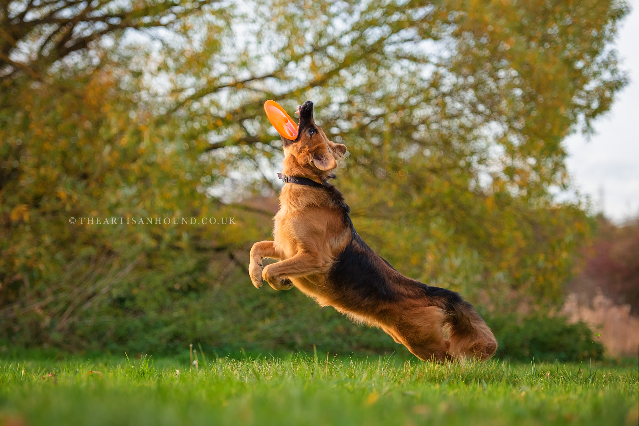 Large dog catching frisbee in mid air