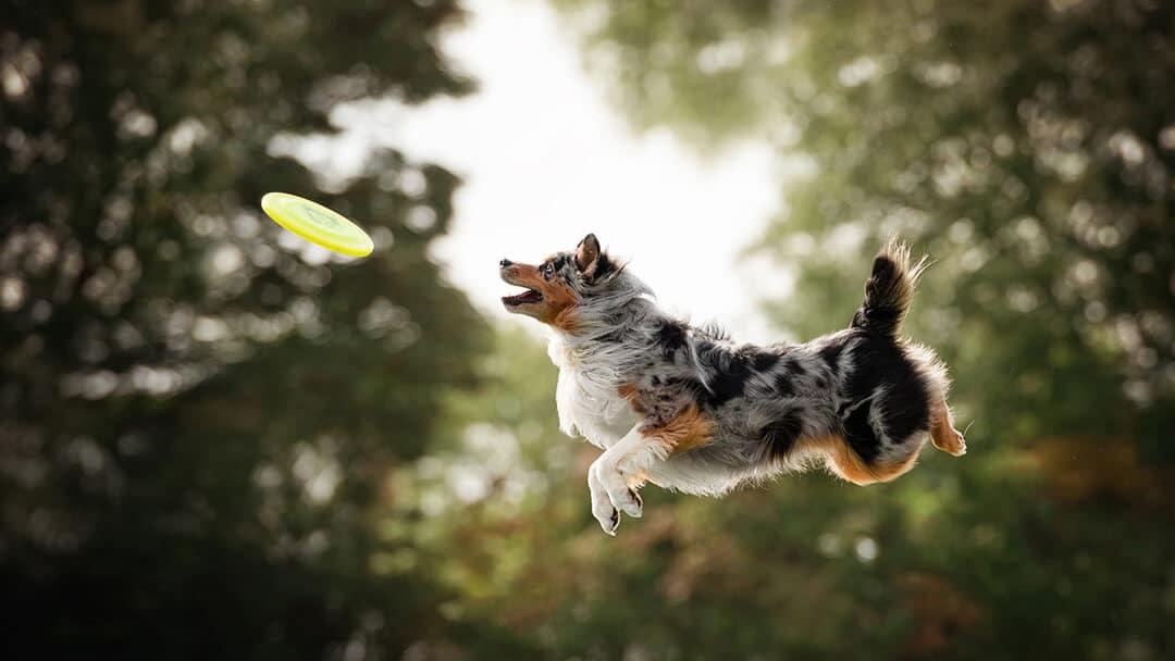 Australian Shepherd Dog jumping and catching disc