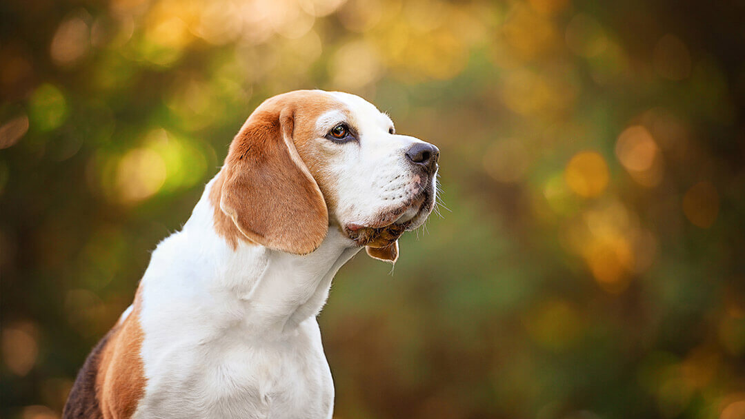 Beagle dog photography in Northamptonshire