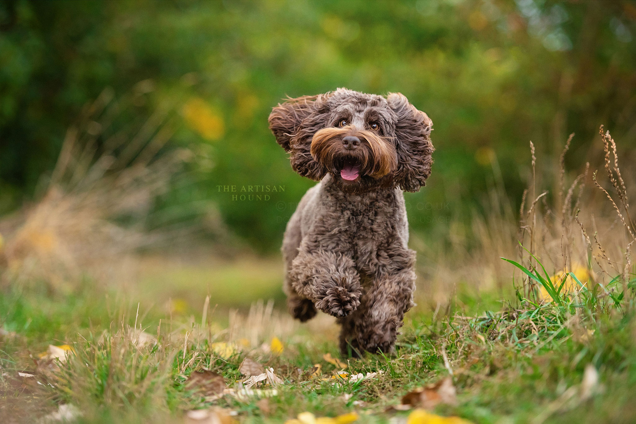Brown Cockapoo running through Bradlaugh Fields park