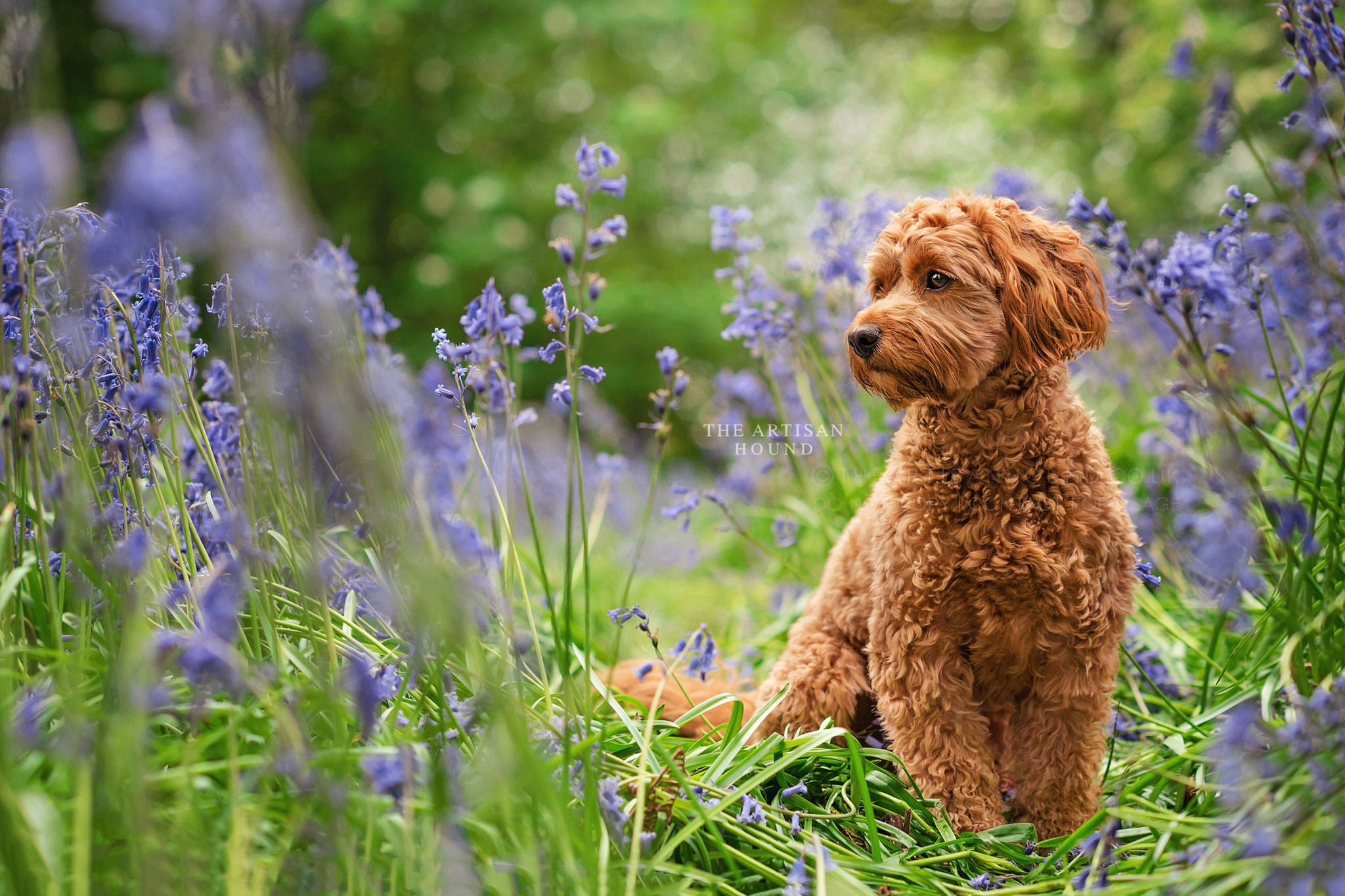 Cockapoo sitting in bluebells