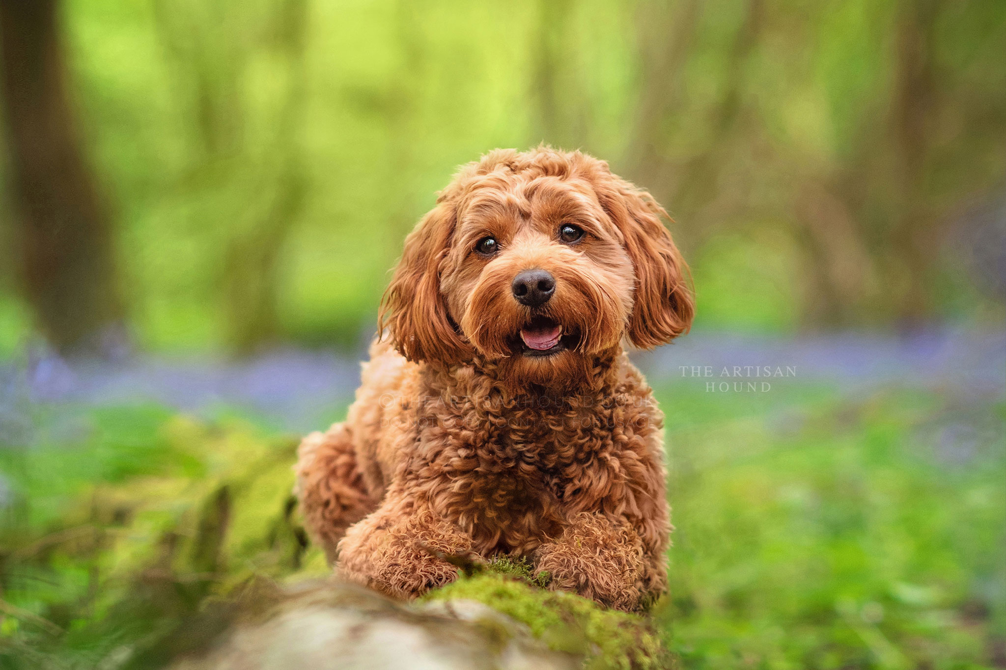 Cockapoo sitting on log in bluebell woods in Coventry