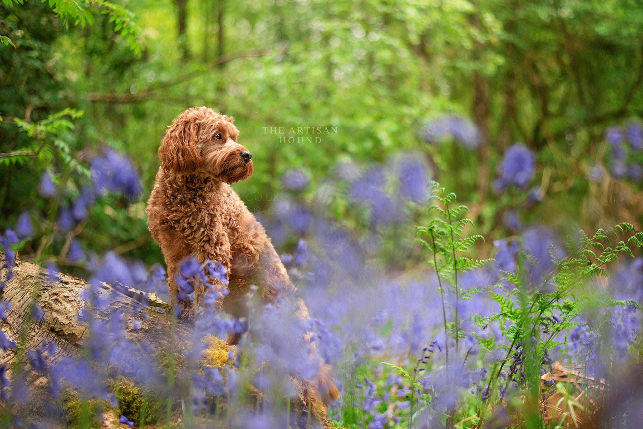Cockapoo standing on log in bluebell woods