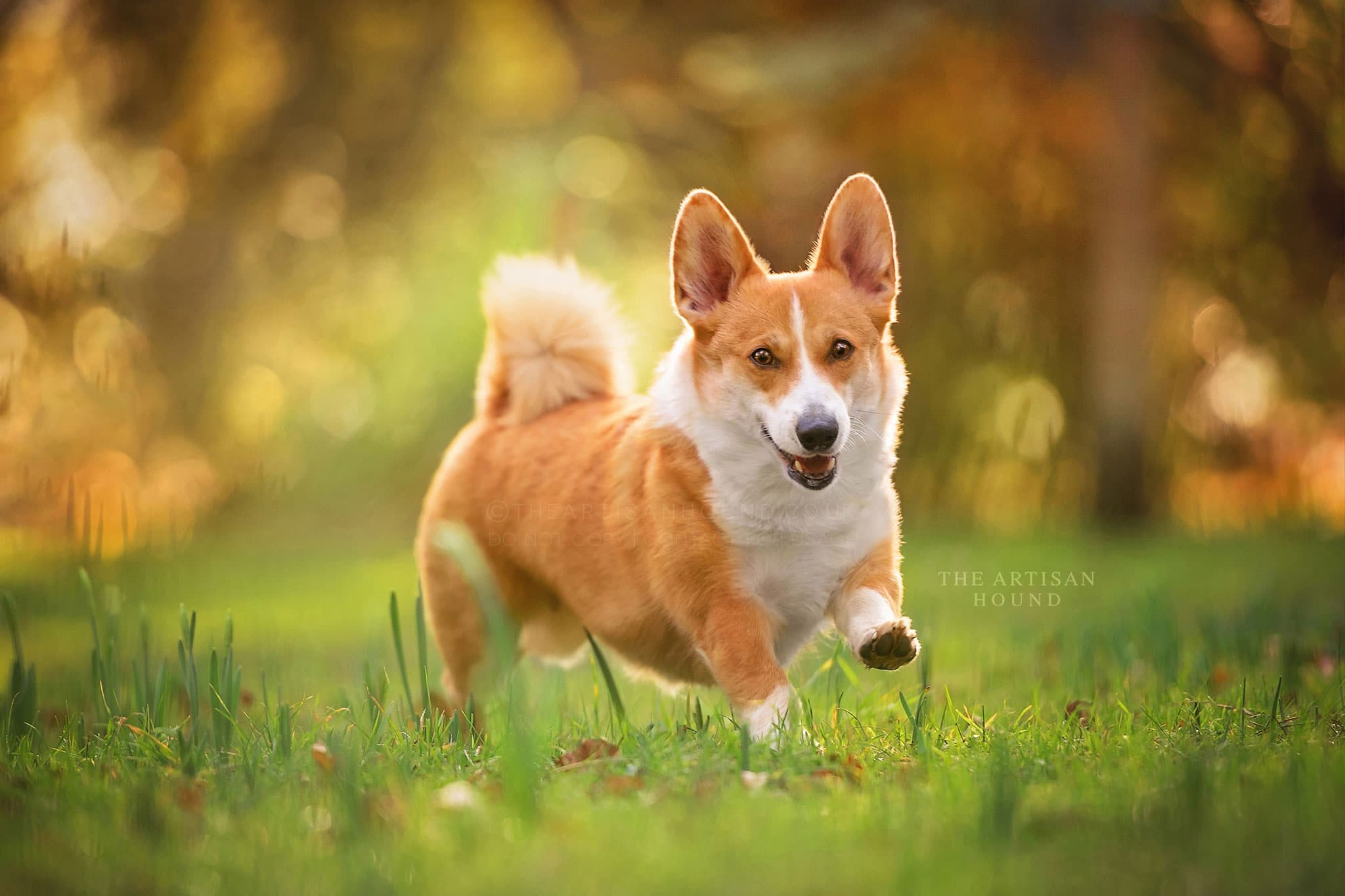 Corgi running through Northamptonshire park in summer