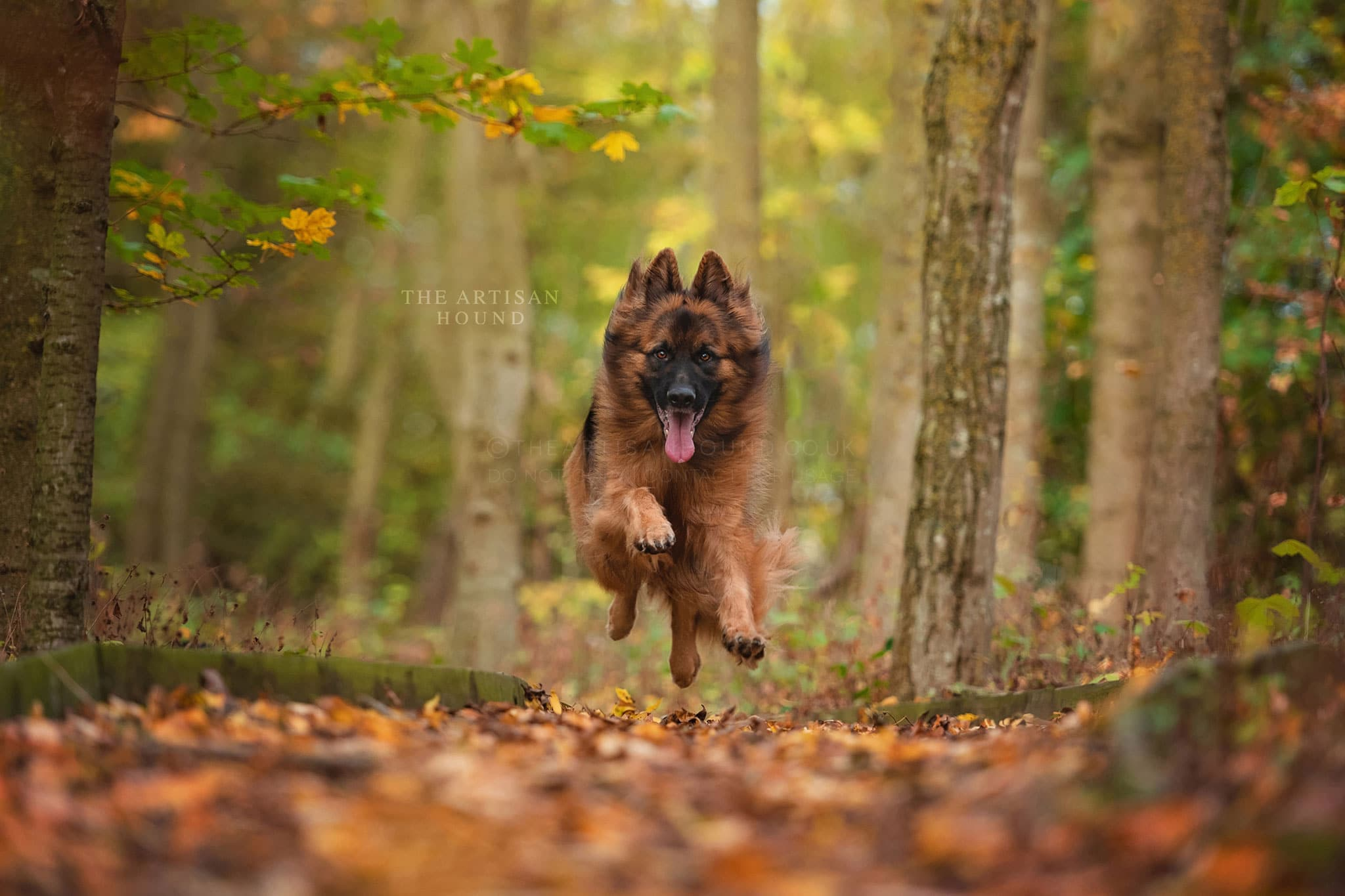 German Shepherd running through autumn leaves