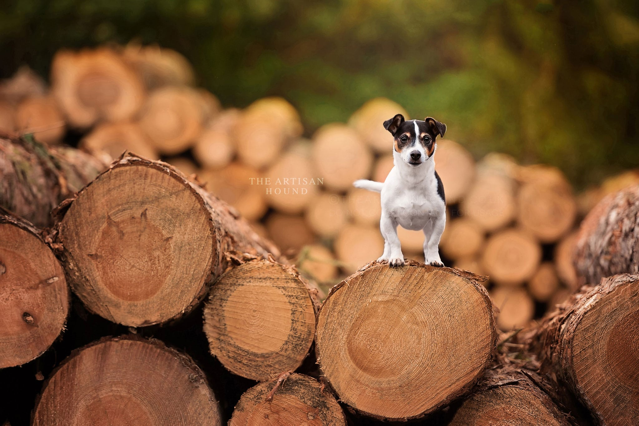 Jack Russell Terrier standing on large log pile