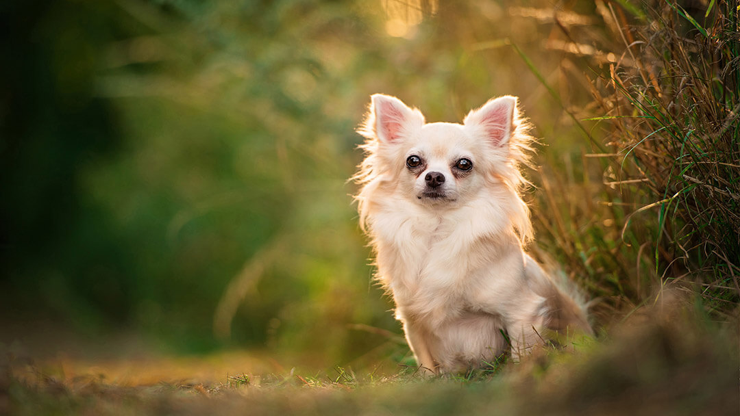 Long haired Chihuahua sitting for photo in Northampton park