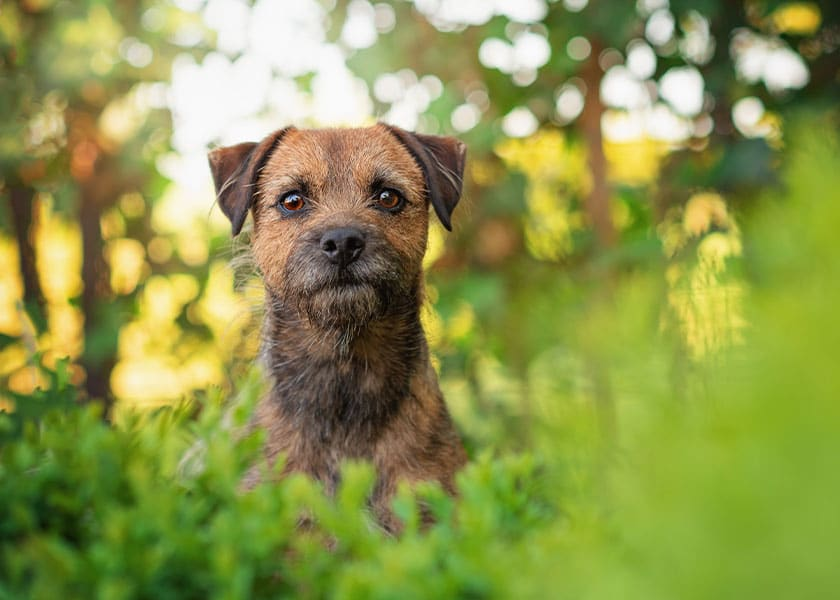 Border Terrier dog poking head out of bushes in garden