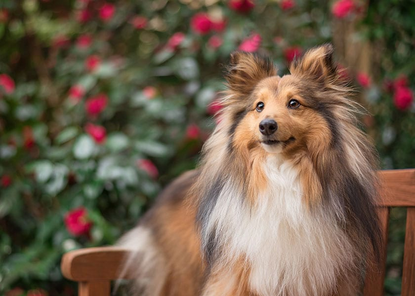Shetland Sheepdog standing on bench in front of rose bushes
