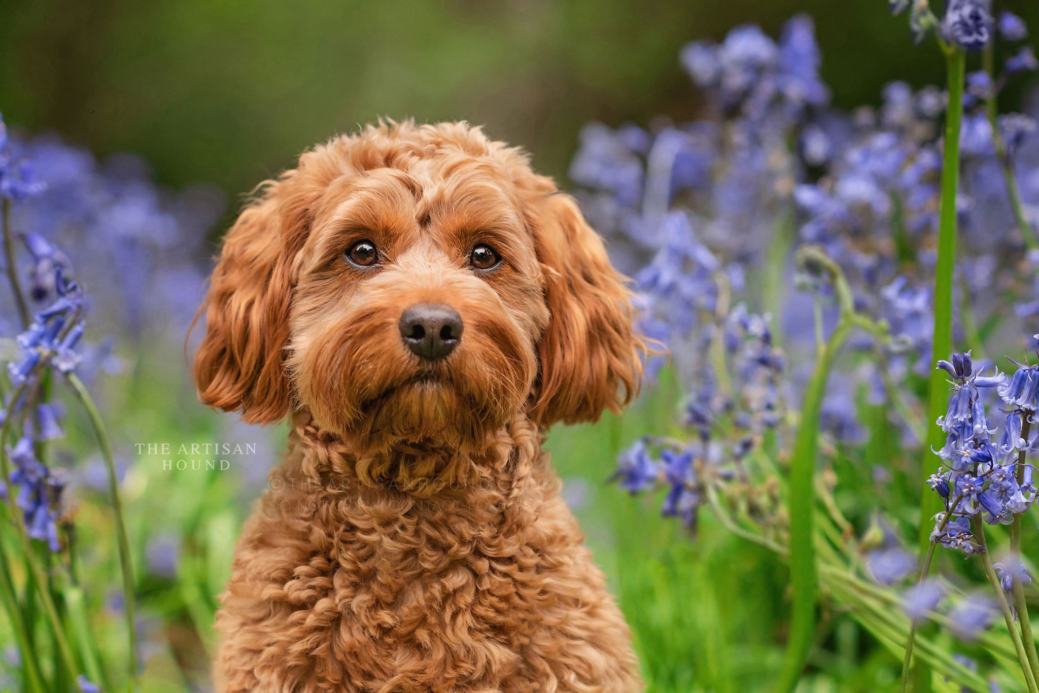Portrait photograph of red cockapoo in bluebells