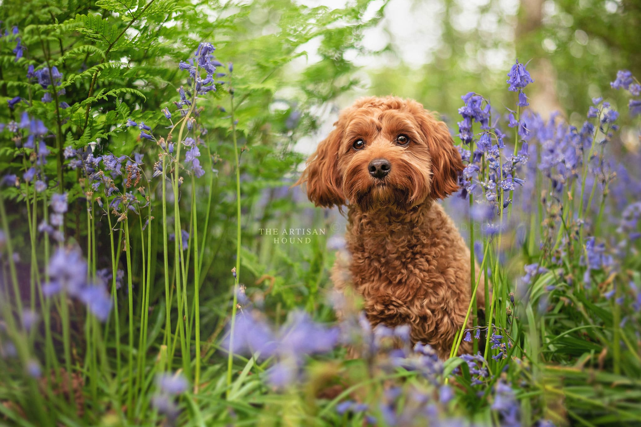 Red Cockapoo peeking through bluebells