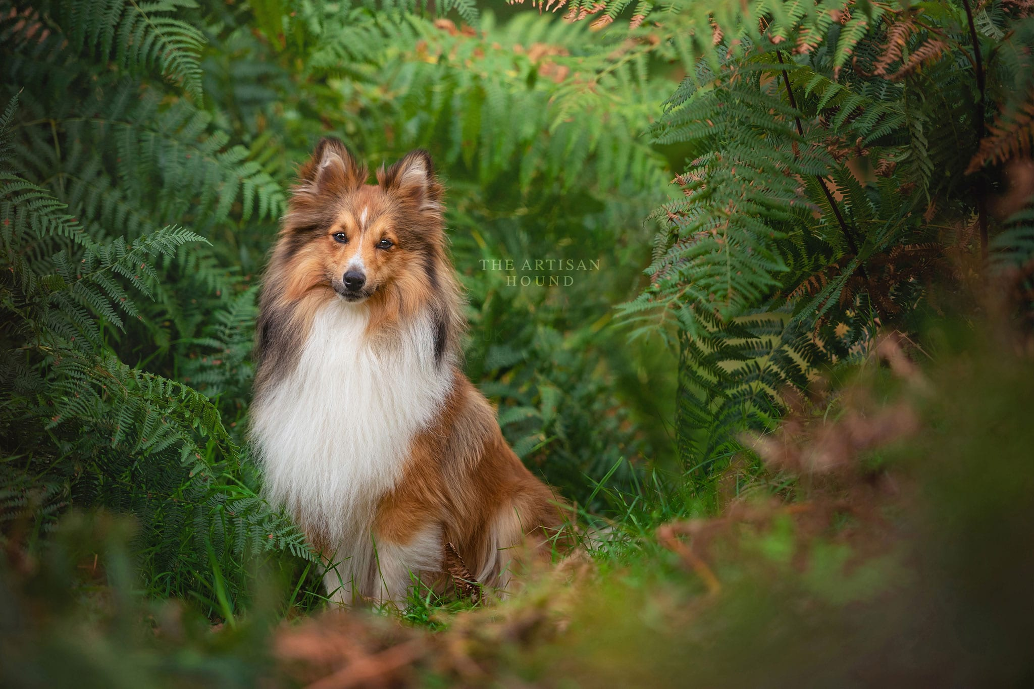 Sheltie dog sitting in green bracken
