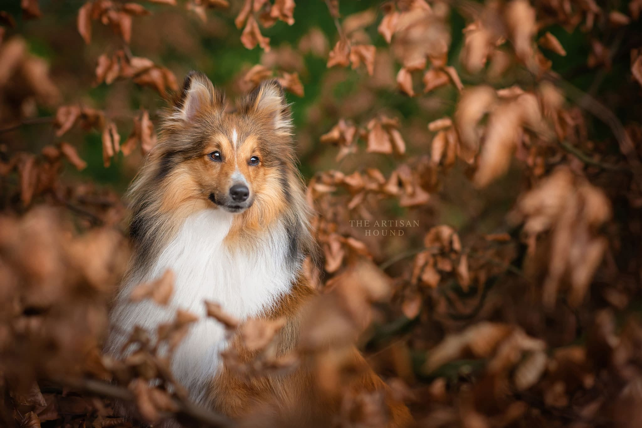 Shetland Sheepdog sitting in autumn leaves in Northamptonshire woodland