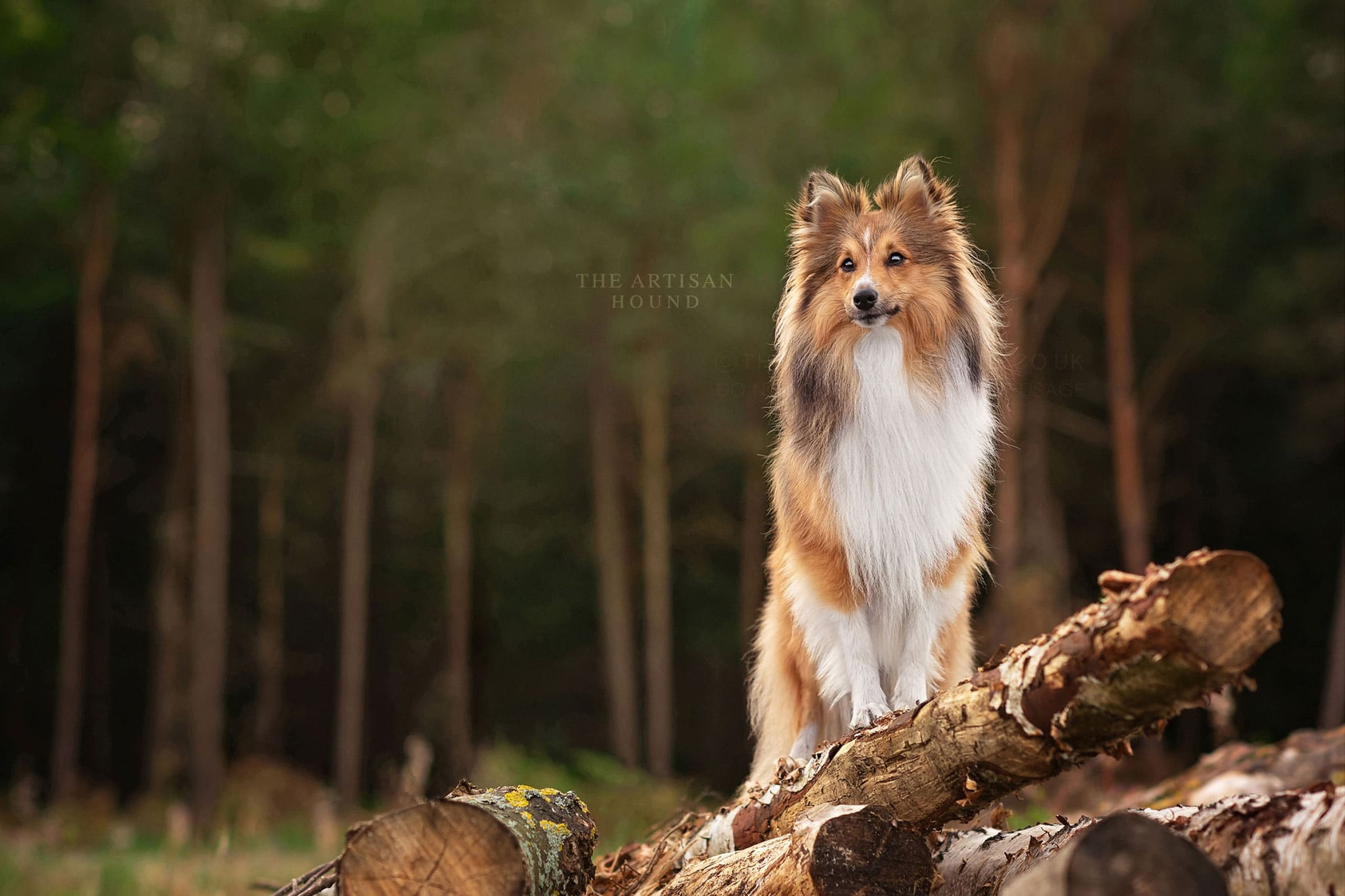 Shetland Sheepdog standing on pile of logs in Northampton woodland