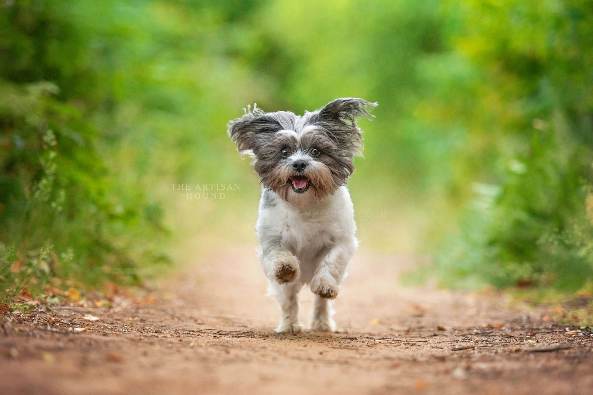 Small Shih Tzu cross dog running through woods