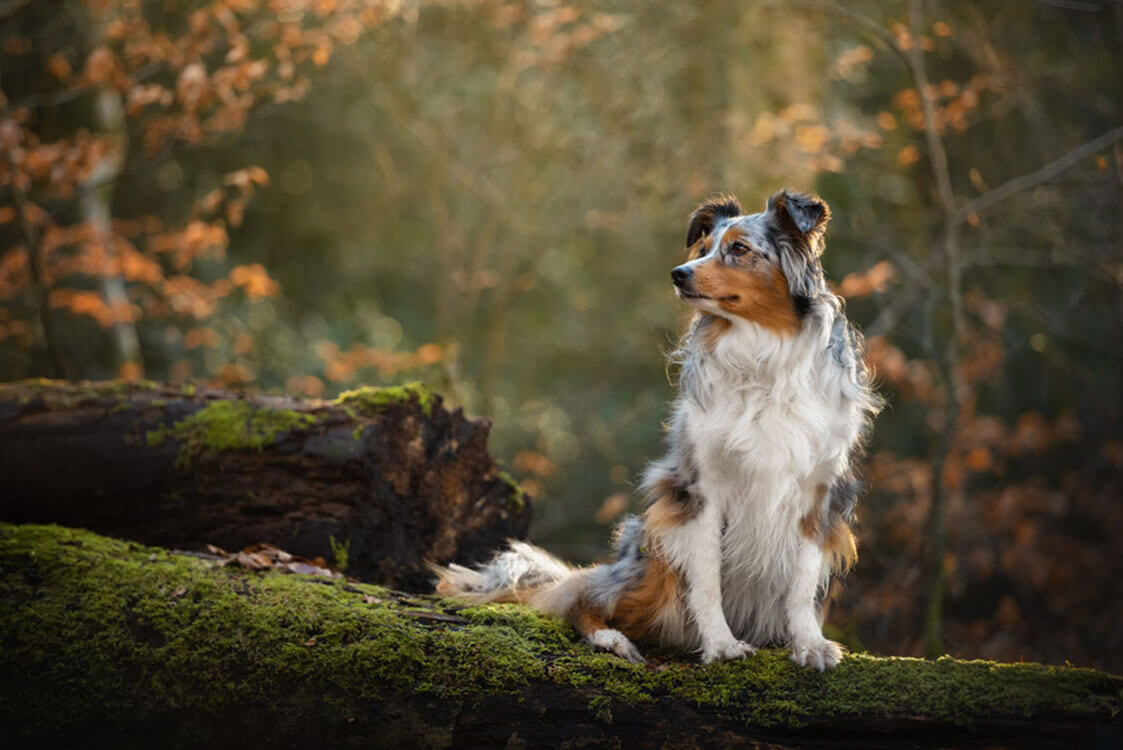 Australian Shepherd dog sitting on mossy log in Surrey woodland