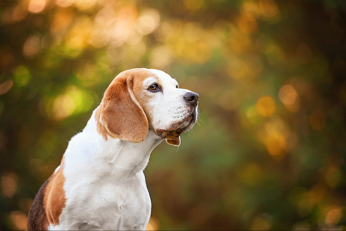 Beagle dog fine art photography