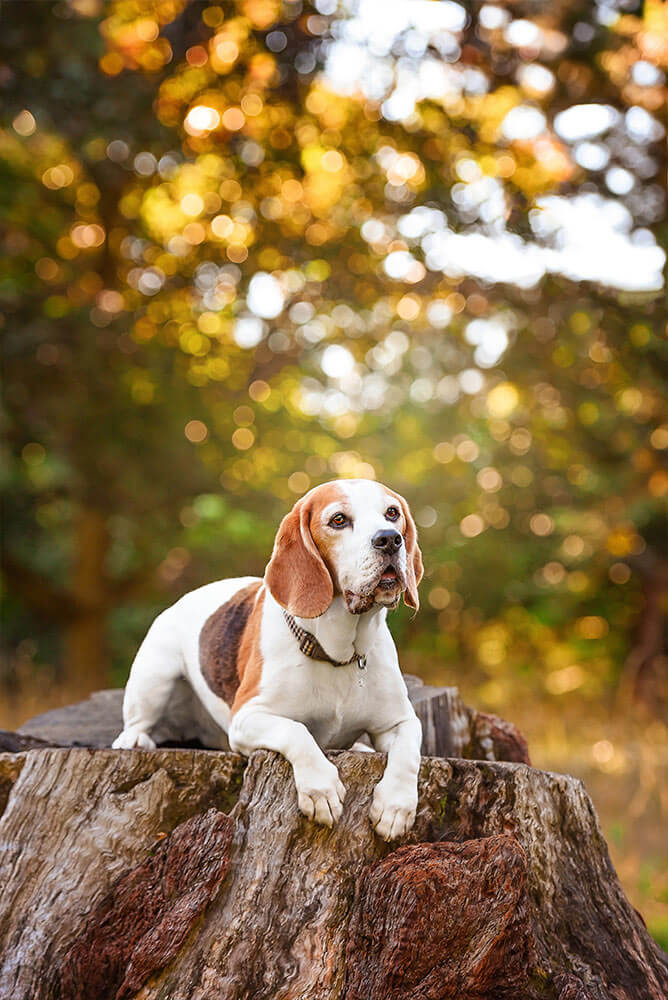 Beagle dog sitting on tree stump