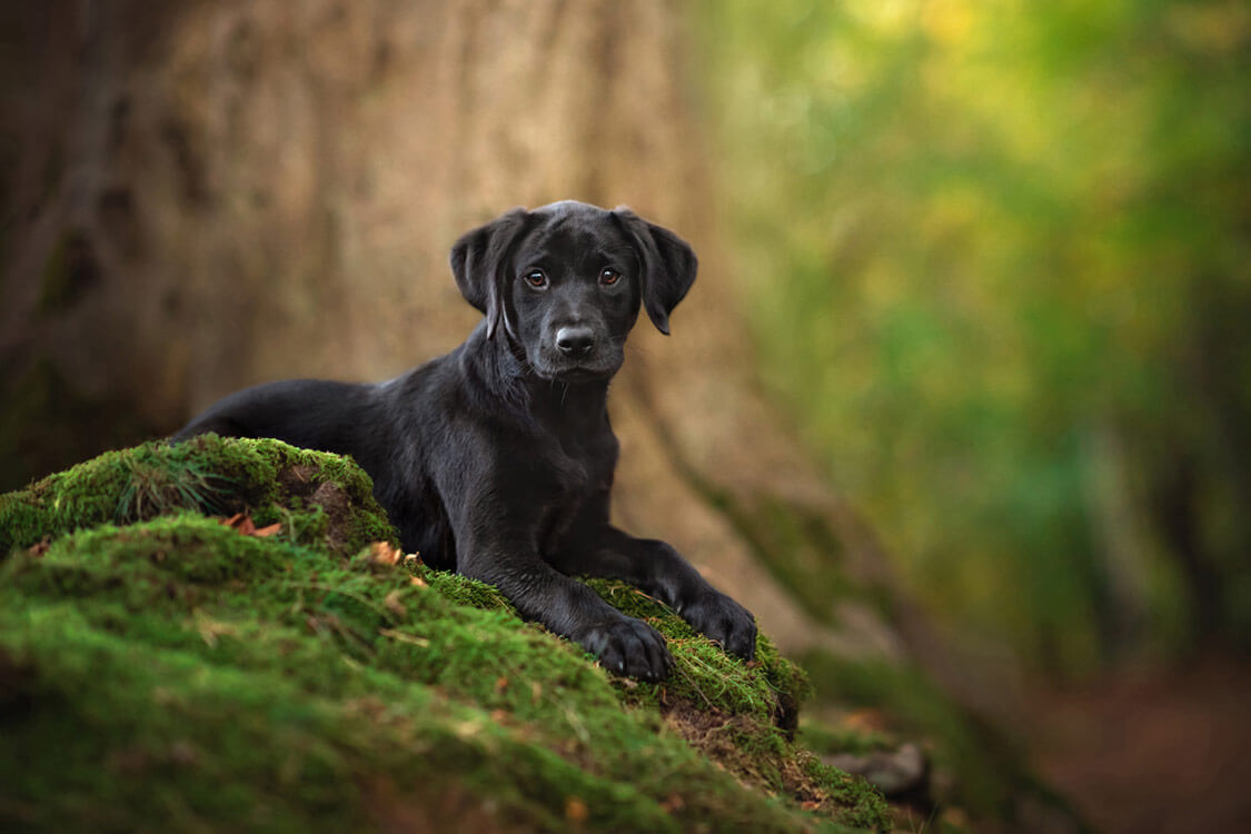 Black Labrador puppy sitting on tree roots