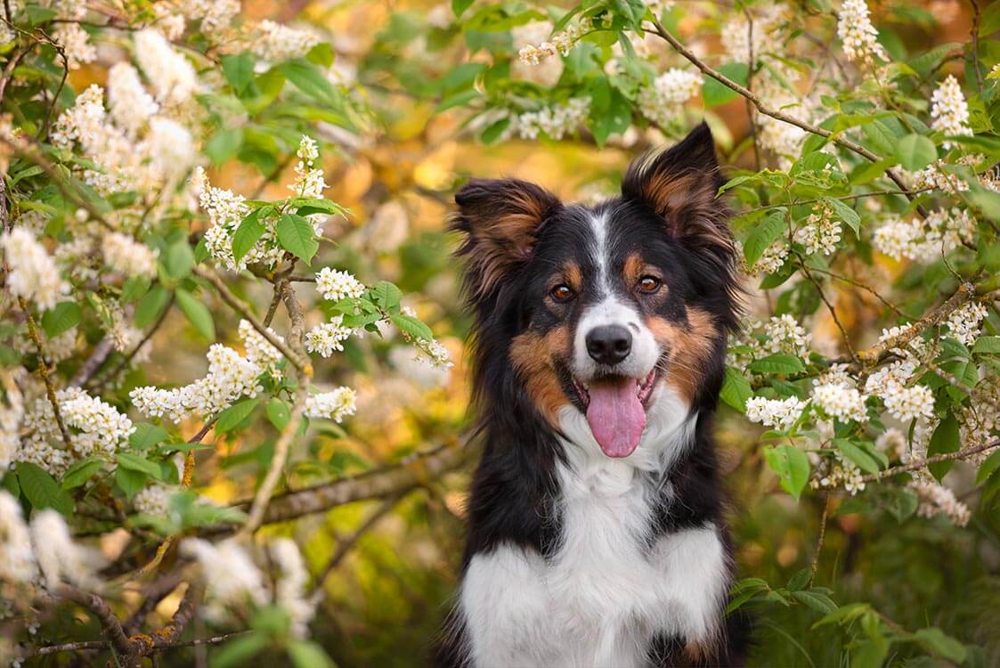 Border Collie dog under spring blossom tree