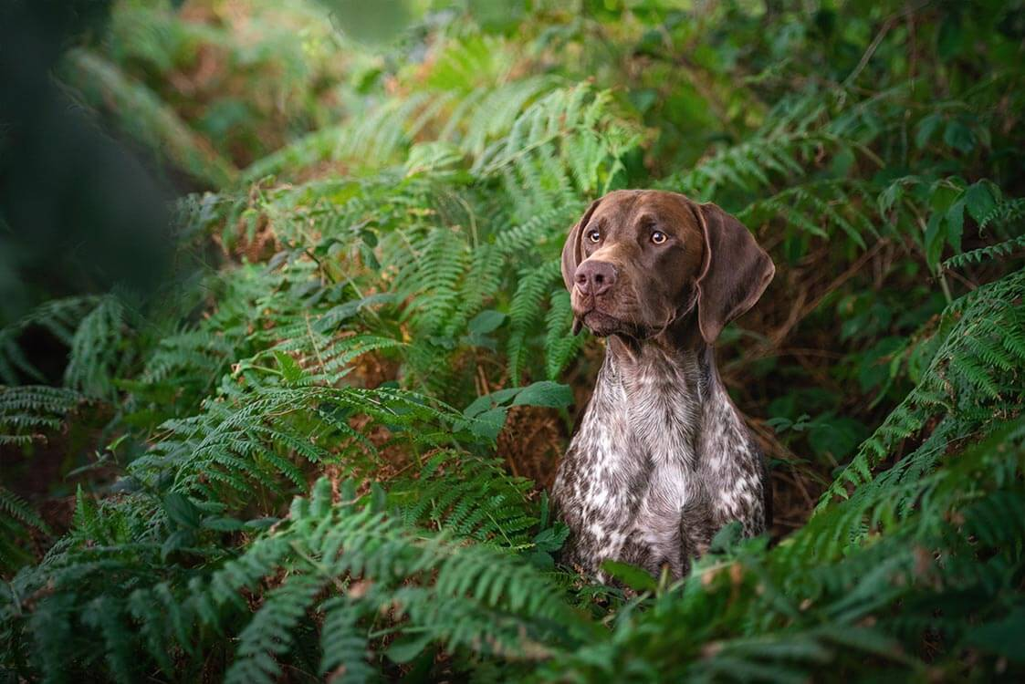Brown GSP dog sitting in green woodland
