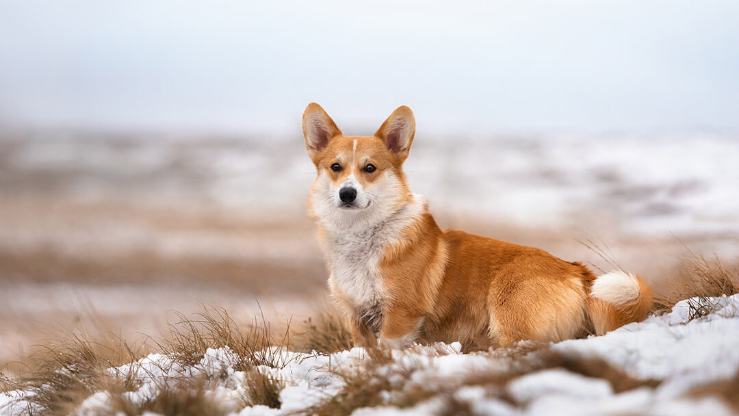 Corgi sitting on snowy hillside
