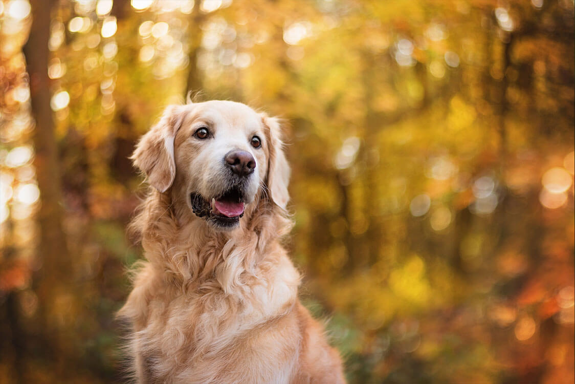 Golden Retriever sitting in autumn woods