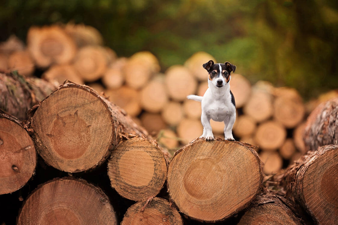 Jack Russell Terrier standing on pile of logs