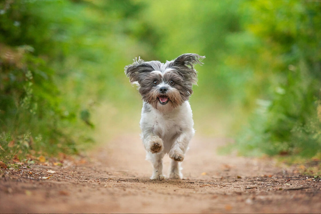 Little dog running along country path