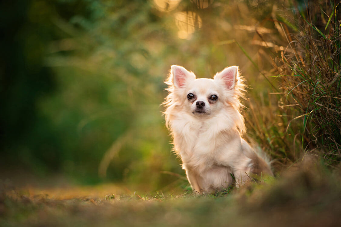 Long haired chihuahua sitting in park