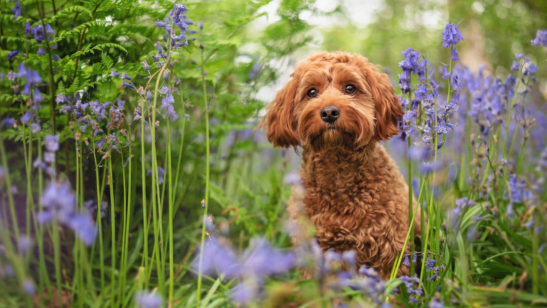 Red cockapoo in bluebell woods in Coventry