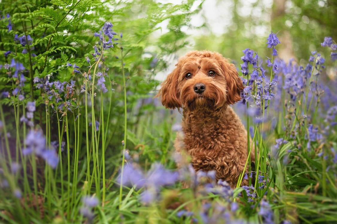 Red cockapoo in bluebell woods Coventry