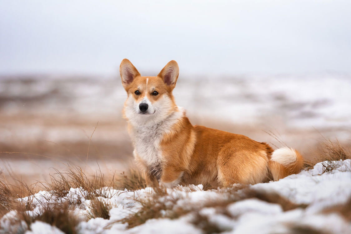 Red and white Corgi sitting on snow-covered hillside