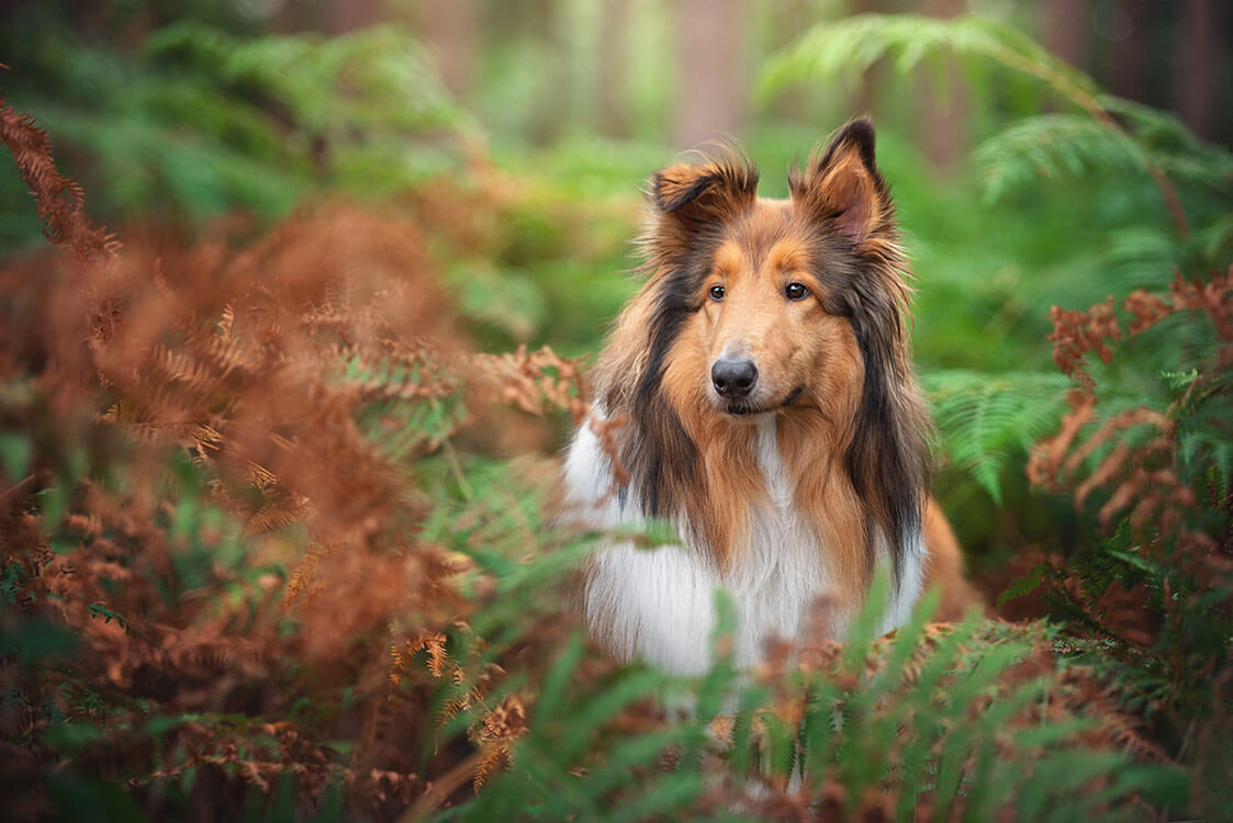Rough collie standing in autumn ferns Northampton