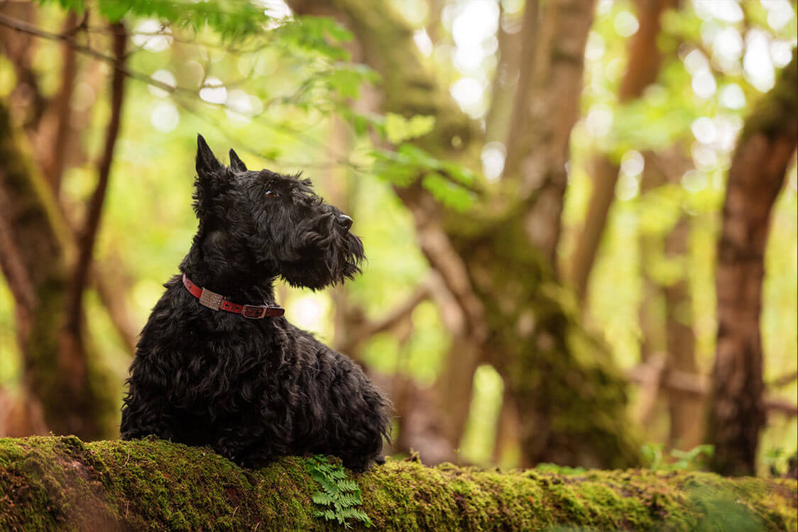 Scottie dog sitting on log in Surrey woodland