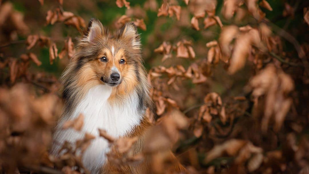 Sheltand sheepdog portrait in Northamptonshire woodland
