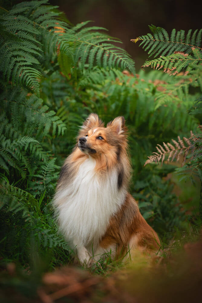 Shetland sheepdog sitting in bracken bushes