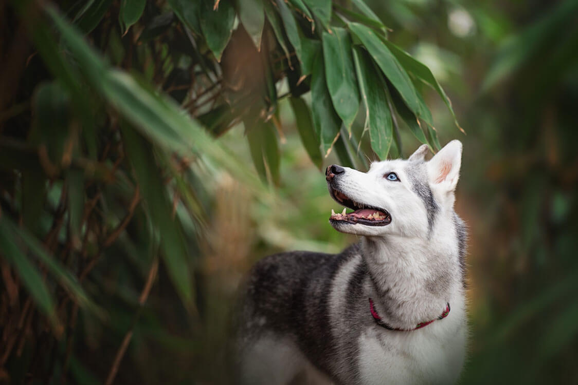 Siberian husky walking in forest