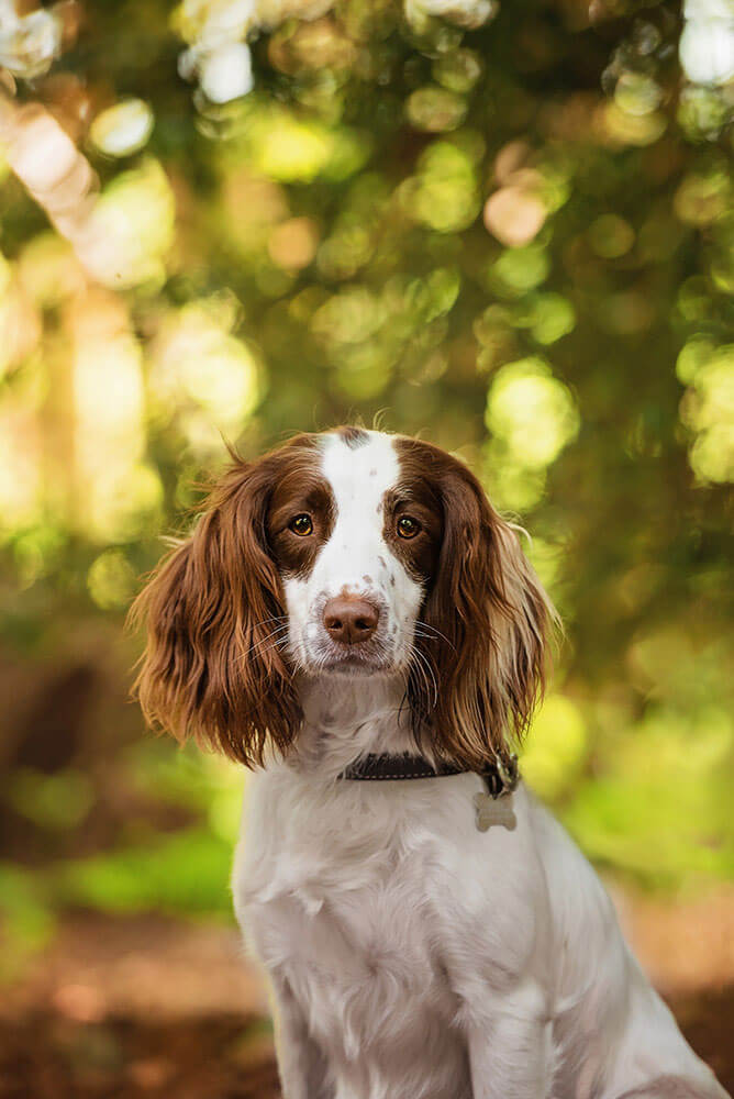 Springer Spaniel portrait photography