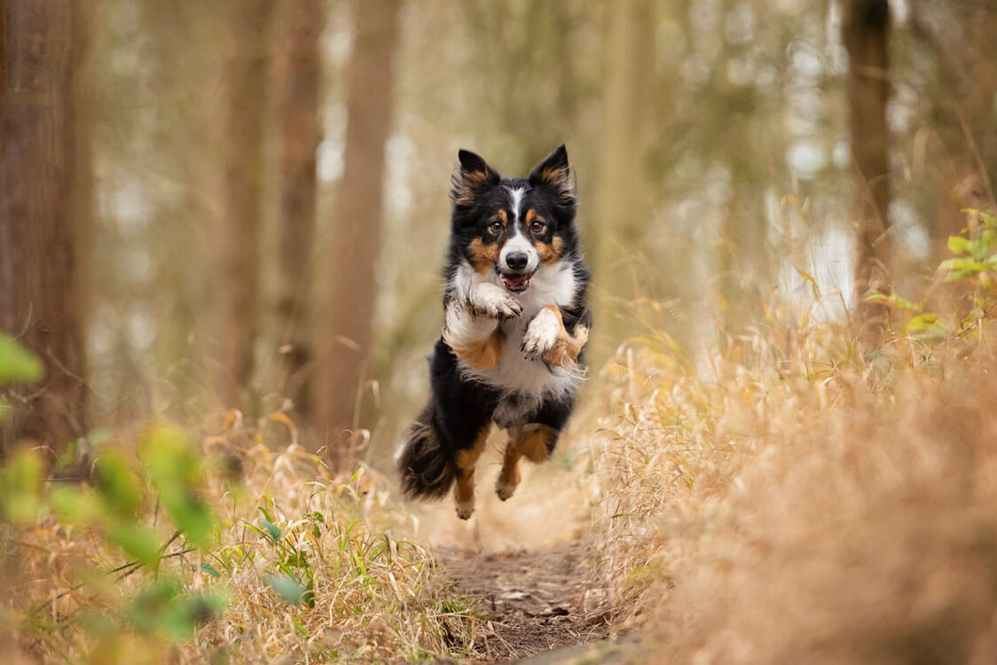 Tri-coloured Border Collie dog running through woods