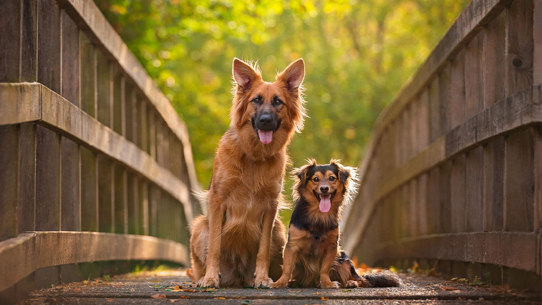 Two crossbreed dogs sitting on bridge