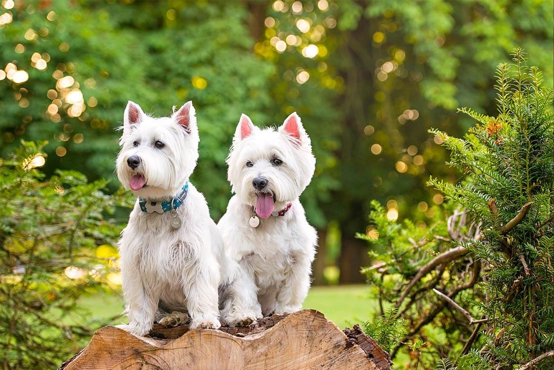 Two Westies sitting on log in park