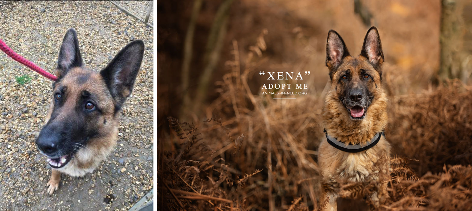 before after of female german shepherd dog