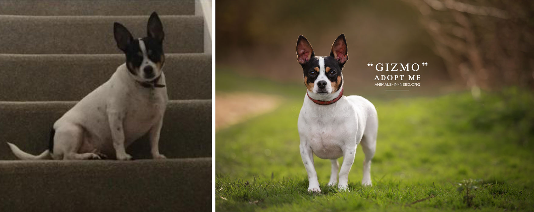 before after photo of chihuahua jack russell mix dog