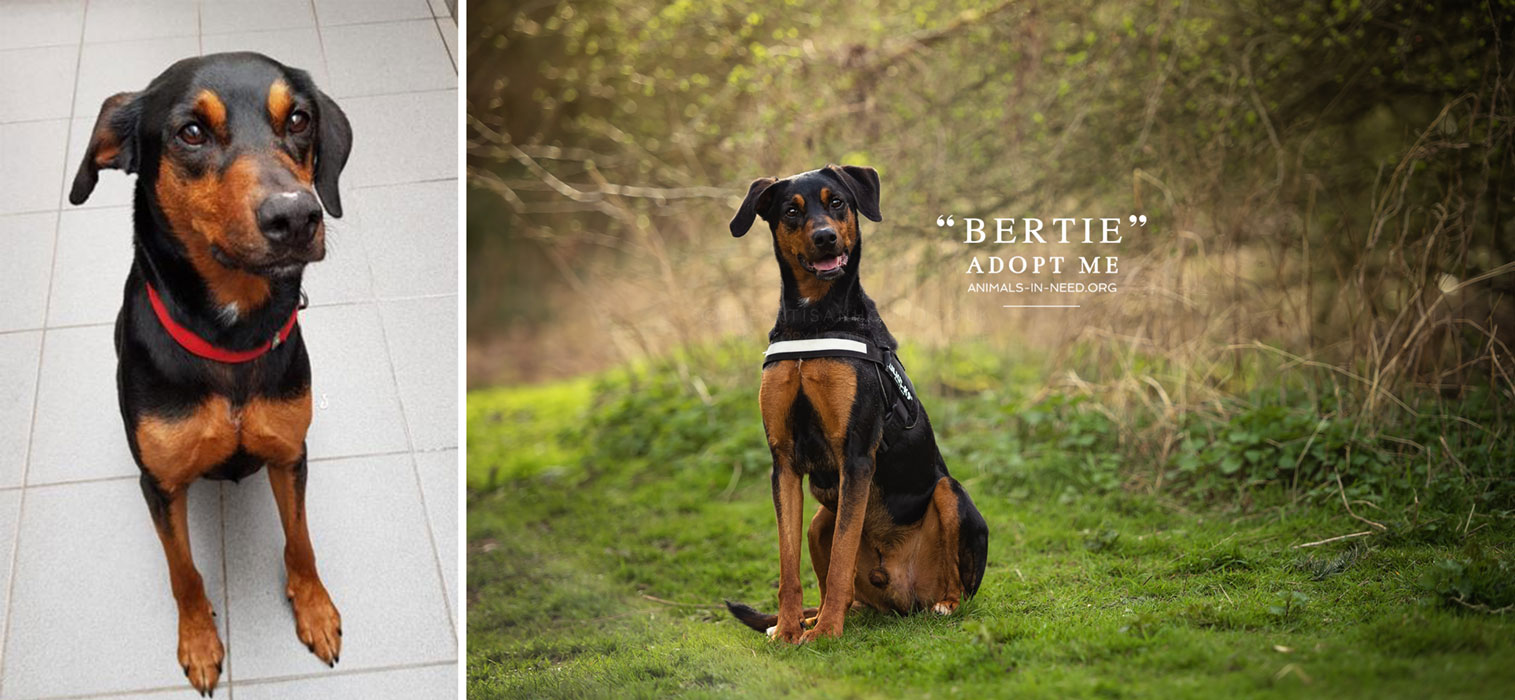 before after photo of doberman cross dog