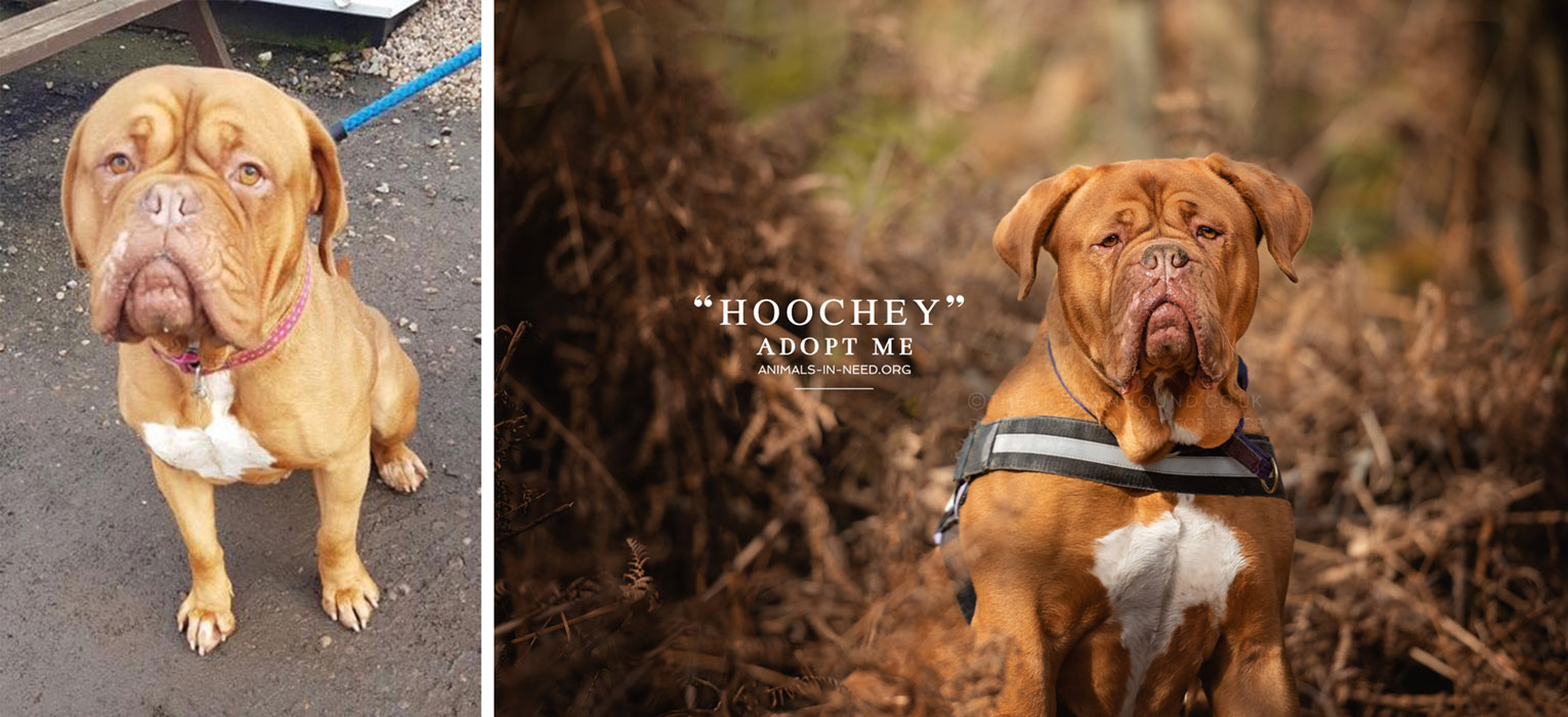 before after photo of dogue de bordeaux